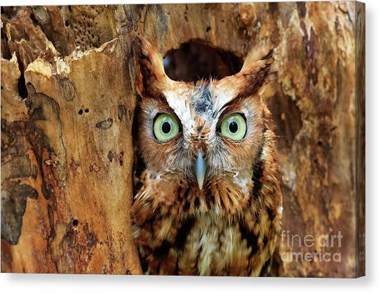 Eastern Screech Owl Perched In A Hole In A Tree Canvas Print