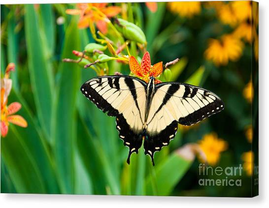 Yellow Butterfly Canvas Print - Eastern Tiger Swallowtail Butterfly In by J. Marquardt