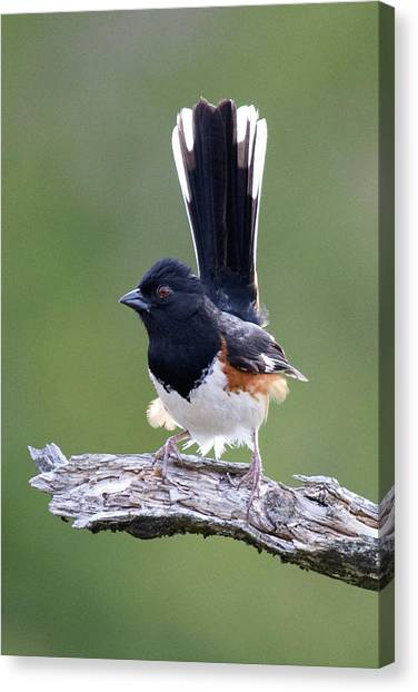 Eastern Towhee 50413 Canvas Print