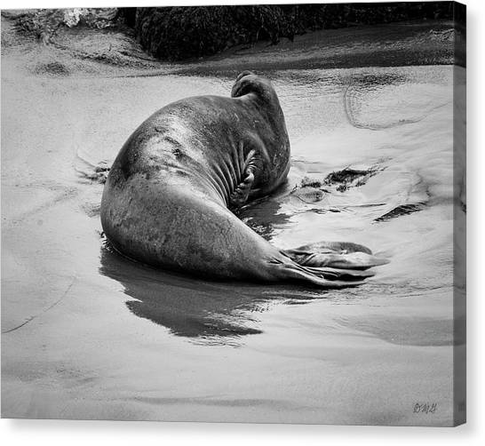 Elephant Seal X Bw Canvas Print by David Gordon