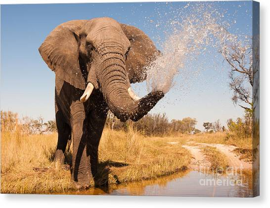 Delta Canvas Print - Elephant Spraying Water With His Trunk by Donovan Van Staden