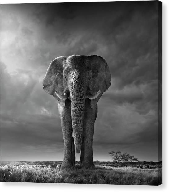 Elephant Walking In Grassy Field Canvas Print by Chris Clor
