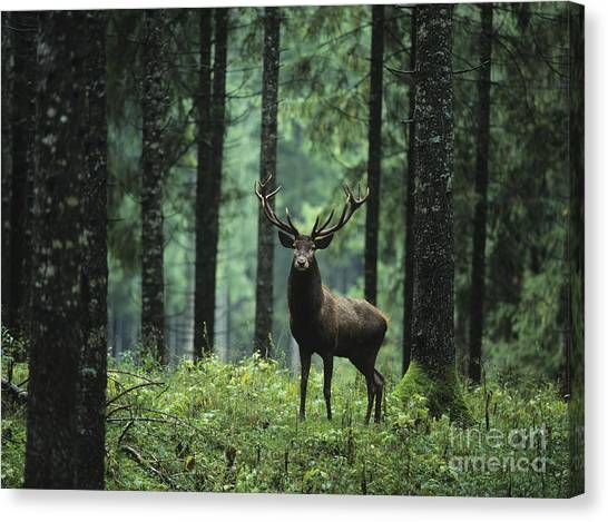 Woodland Canvas Print - Elk In Forest by Sirtravelalot