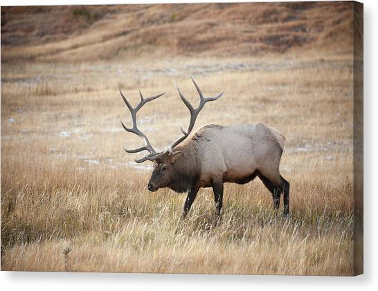 Elk In Yellowstone National Park Canvas Print