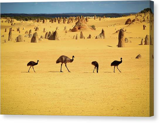Emus In Nambung National Park Canvas Print by Photography By Ulrich Hollmann
