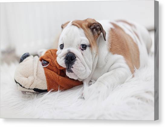 English Bulldog Puppy Canvas Print by Carol Yepes
