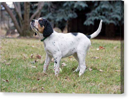 English Setter Puppy, 8 Weeks Canvas Print by William Mullins