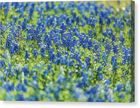 Ennis Bluebonnets Canvas Print