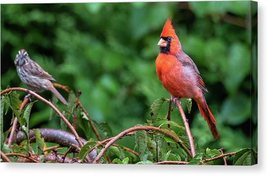 Envy - Northern Cardinal Regal Canvas Print