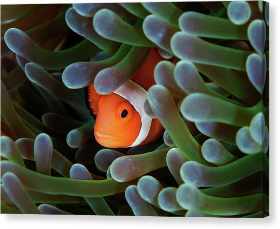 Anemonefish Canvas Print - Eternal Theme by Nature, Underwater And Art Photos. Www.narchuk.com