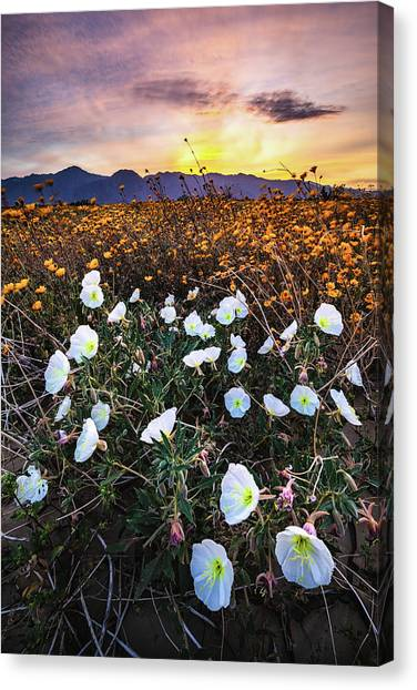 Evening With Primroses Canvas Print