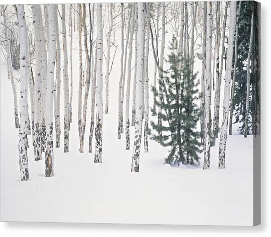 Evergreen & Aspen Trees In Snow H Canvas Print