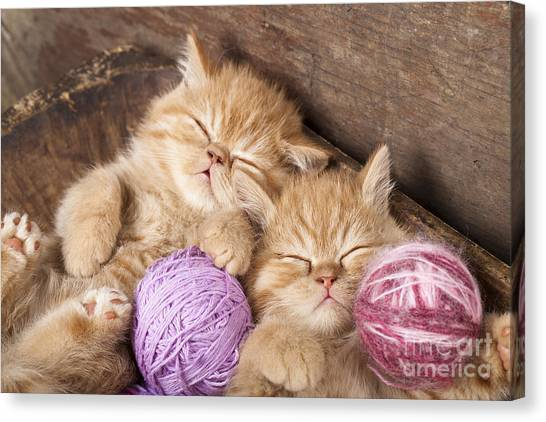 Purebred Canvas Print - Exotic Kittens   Sleeping With A Ball by Liliya Kulianionak