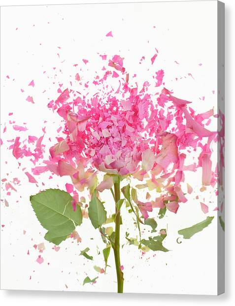 Exploding Pink Rose Canvas Print