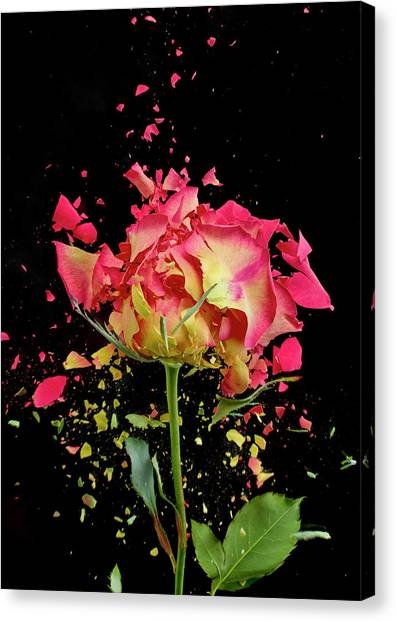 Exploding Rose Canvas Print by Don Farrall