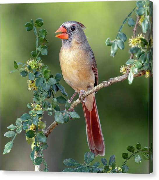 Fabulous Female Cardinal Canvas Print
