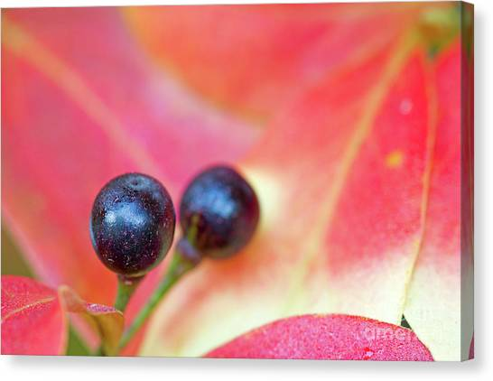 Fall Berries Canvas Print by Steven Dillon