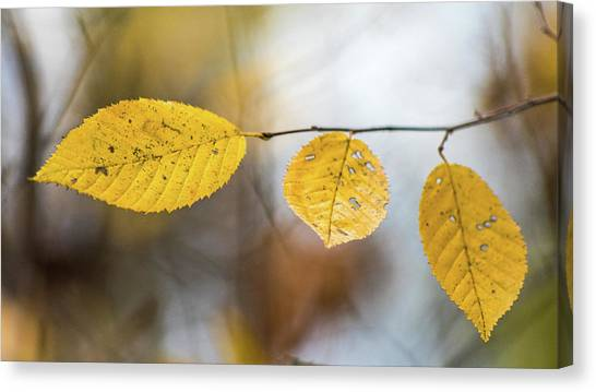 Canvas Print featuring the photograph Fall In Triplicate by Michael Arend