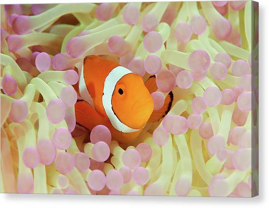 False Or Western Clown Anemonefish Canvas Print