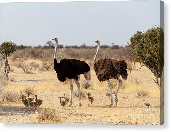 Zoology Canvas Print - Family Of Ostrich With Chicken by Artush