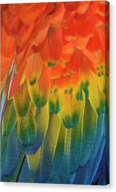 Feather Pattern, Scarlet Macaw Canvas Print by Adam Jones