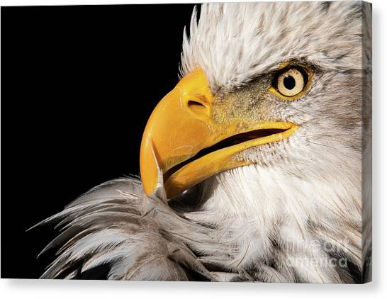 Feather Preening Canvas Print