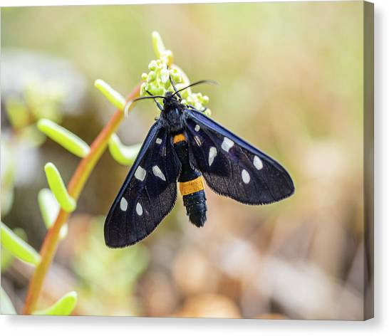 Fegea - Amata Phegea -black Insect With White Spots And Yellow Details Canvas Print
