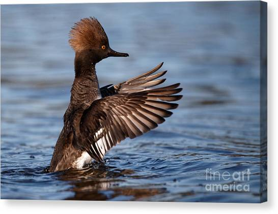 Female Merganser Wings Forward Canvas Print