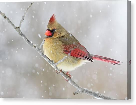 Female Northern Cardinal In Snow Canvas Print by Adam Jones
