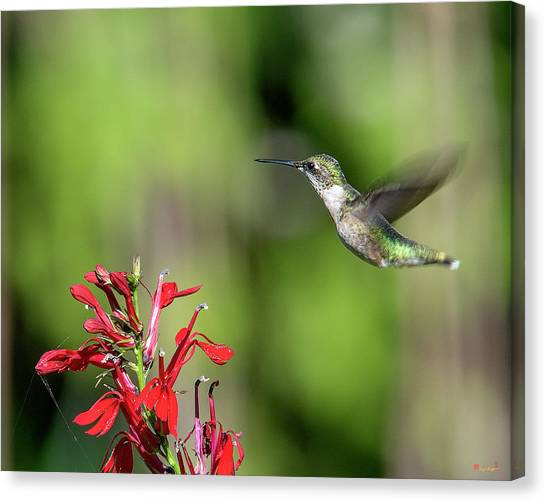 Female Ruby-throated Hummingbird Dsb0320 Canvas Print