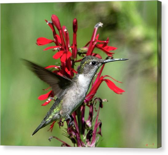 Female Ruby-throated Hummingbird Dsb0325 Canvas Print