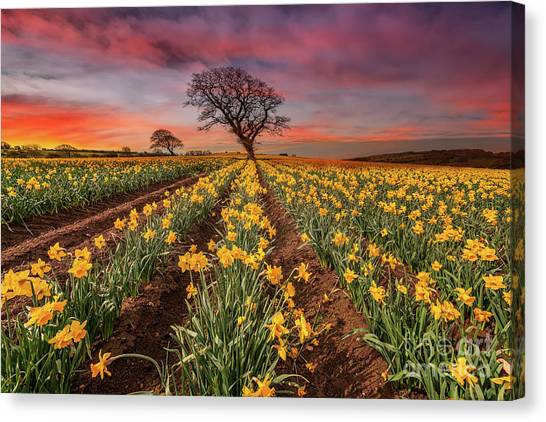 Canvas Print - Field Of Daffodils Sunset by Adrian Evans