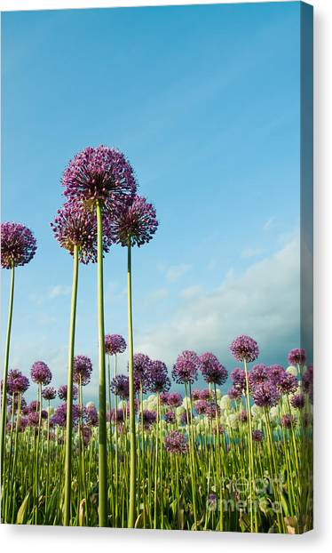 Perennial Canvas Print - Field Of Purple Alliums Reaching Into by Denise Lett