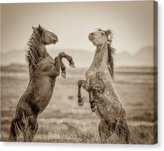 Fighting Stallions 2 Canvas Print