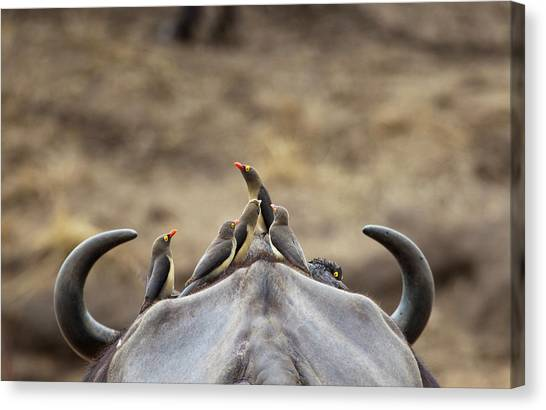 South Buffalo Canvas Print - Five Yellow-billed Oxpeckers Perching by Sean Russell