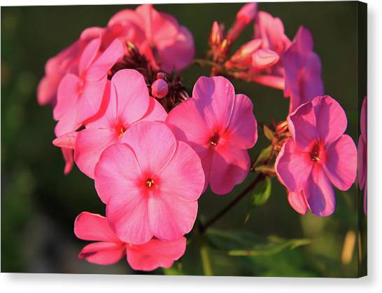 Flaming Pink Phlox Canvas Print