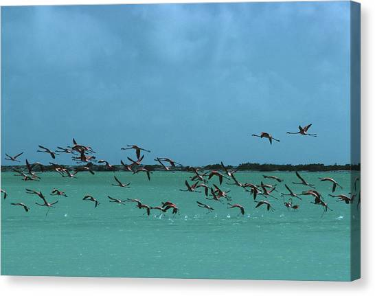 Flamingos In Curacao Canvas Print by Slim Aarons