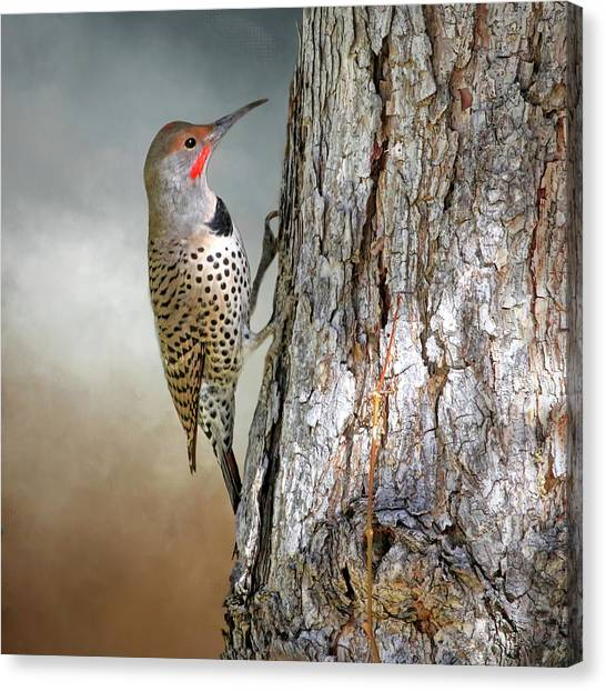 Northern Flicker Canvas Print - Flicker On A Pine by Donna Kennedy