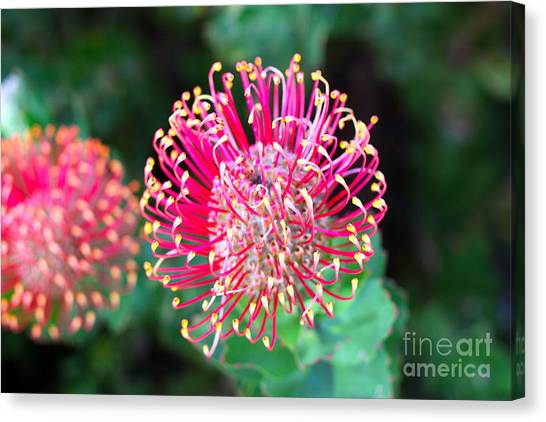 Shrub Canvas Print - Flowerhead Of A Hakea - Australian by Cloudia Spinner