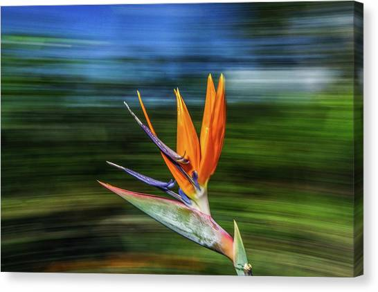 Flying Bird Of Paradise Canvas Print