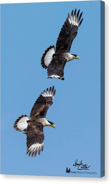 Flying Caracaras Canvas Print