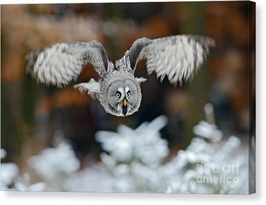 Grey Background Canvas Print - Flying Great Grey Owl, Strix Nebulosa by Ondrej Prosicky