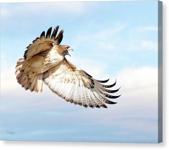 Flying Red-tailed Hawk Canvas Print