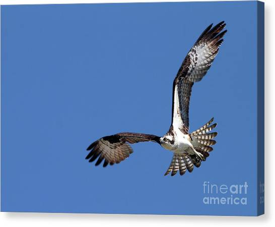 Focused Osprey Canvas Print