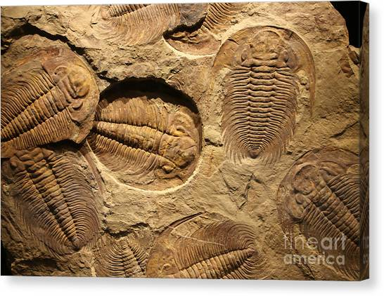 Horizontal Canvas Print - Fossil Trilobite Imprint In The Sediment by Merlin74