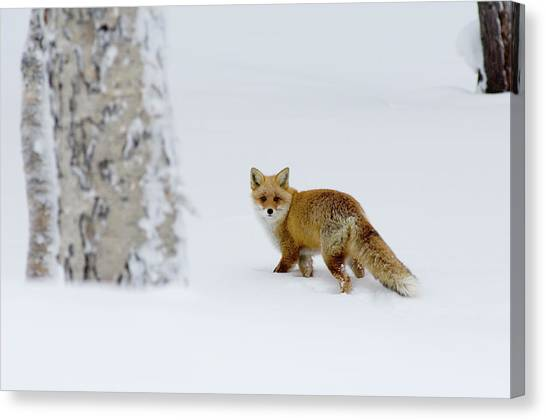 Fox On Snow Field, Hokkaido, Japan Canvas Print