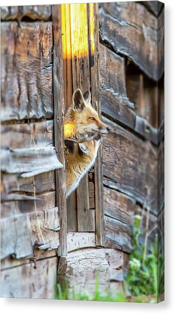 Fox Test  Canvas Print