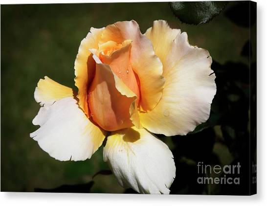 Fragrant Rose Canvas Print