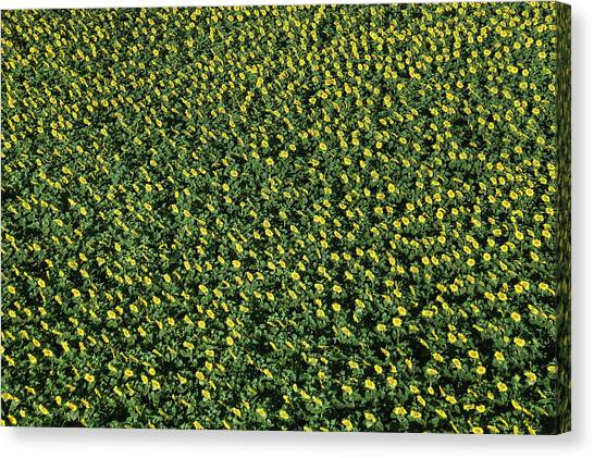France, Allier, Vicq, Blooming Fields Canvas Print by Cormon Francis / Hemis.fr