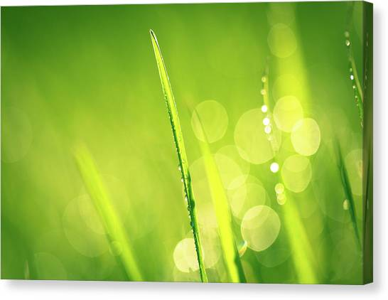 Blade Of Grass Canvas Print - Fresh Spring Grass With Water Drops by Jasmina007